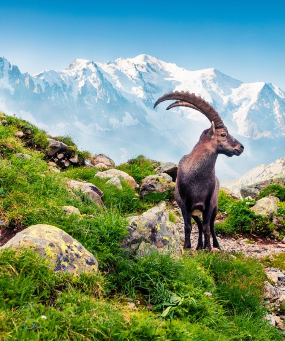 Alpine Ibex on the Mont Blanc background._583565251 FEATURED IMAGE