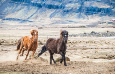 Galloping horse Iceland_135450878