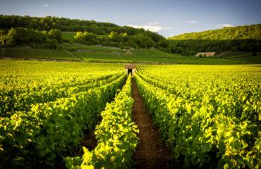 Vineyards in Savigny les Beaune, Burgundy, France_720894535