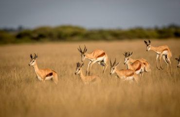 Springboks in Central Kalahari Game Reserve, Botswana_637379584