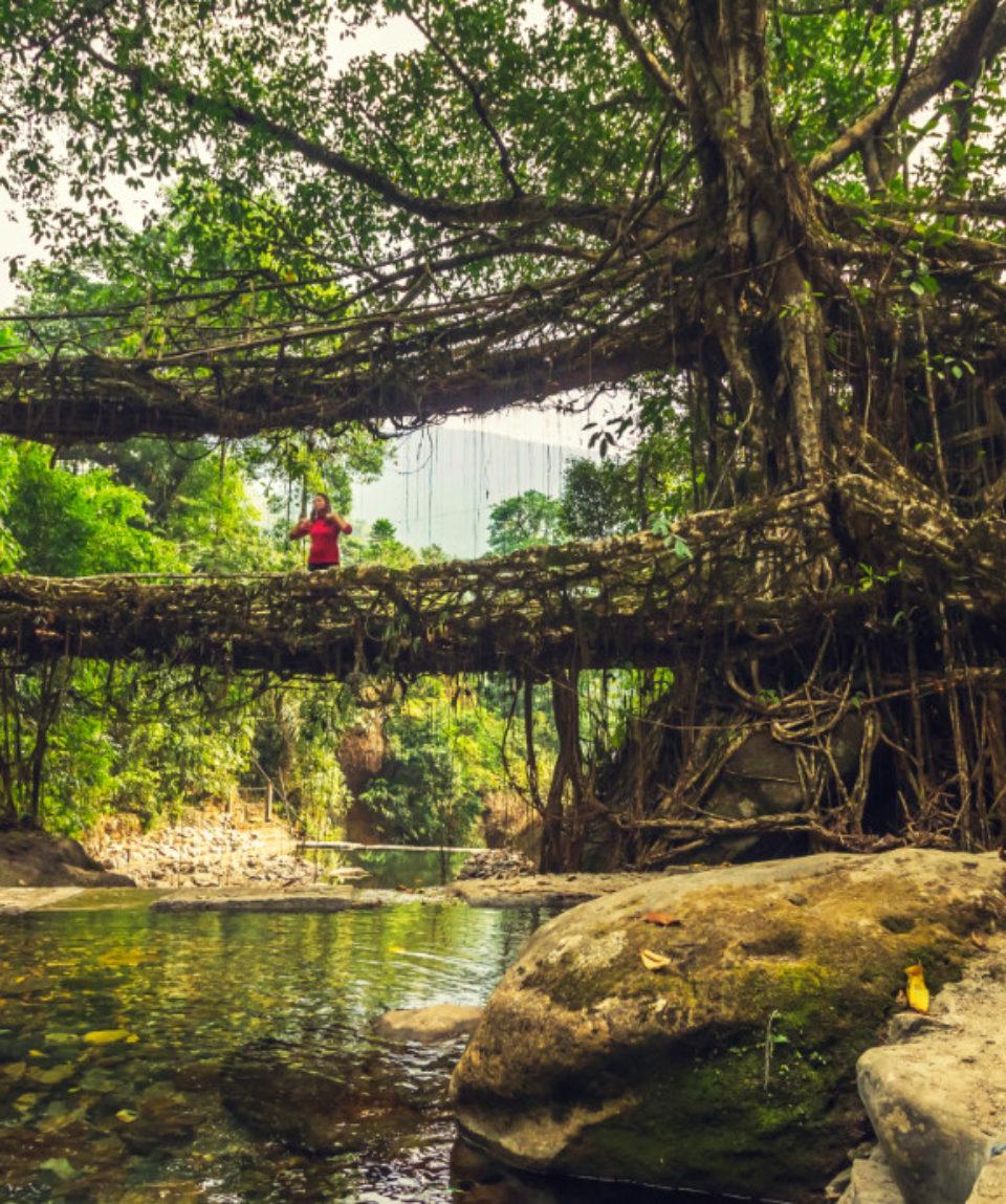Living roots bridge near Nongriat village, cherrapunji, Meghalaya_1087773707